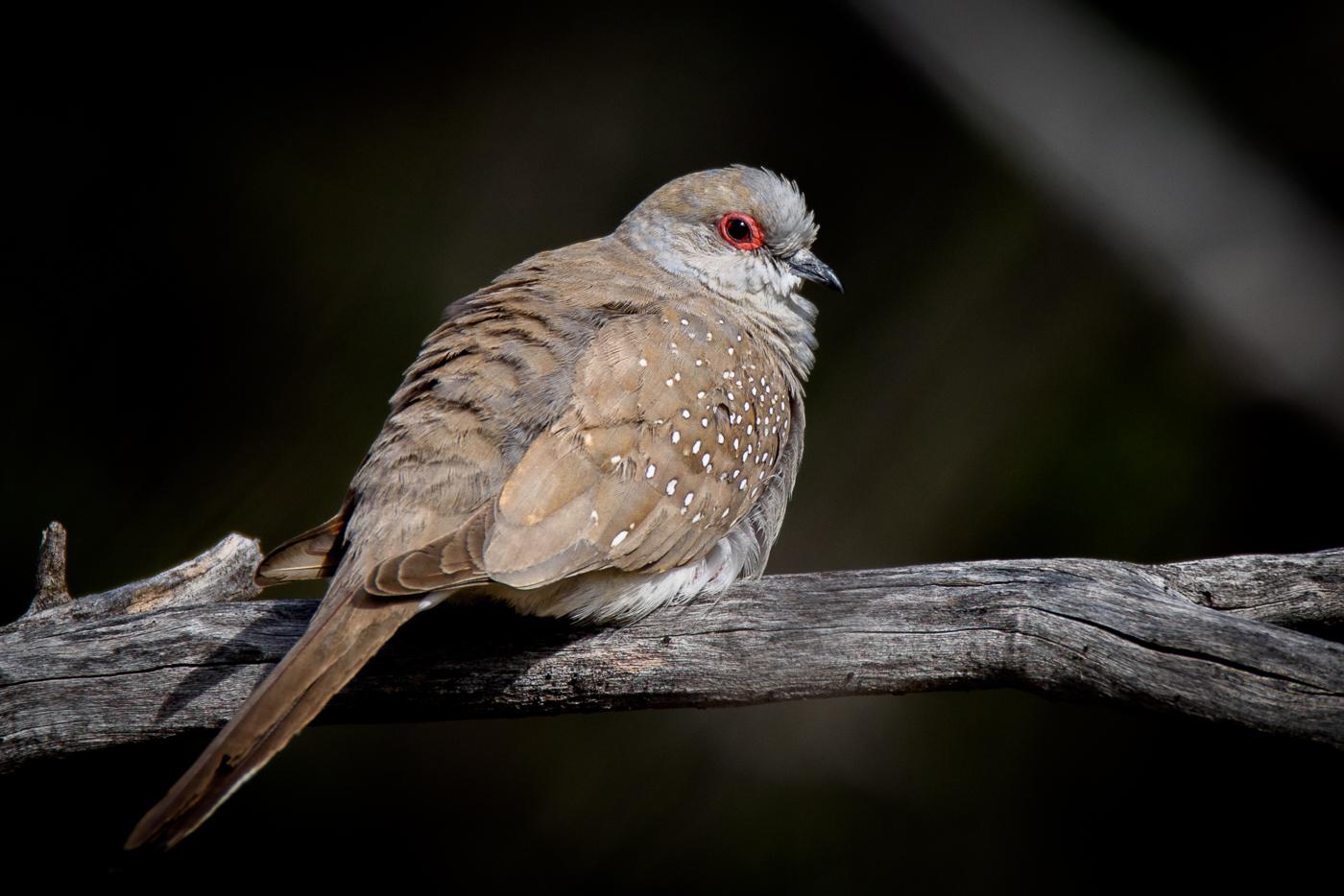 Diamond Dove (Image ID 32137)