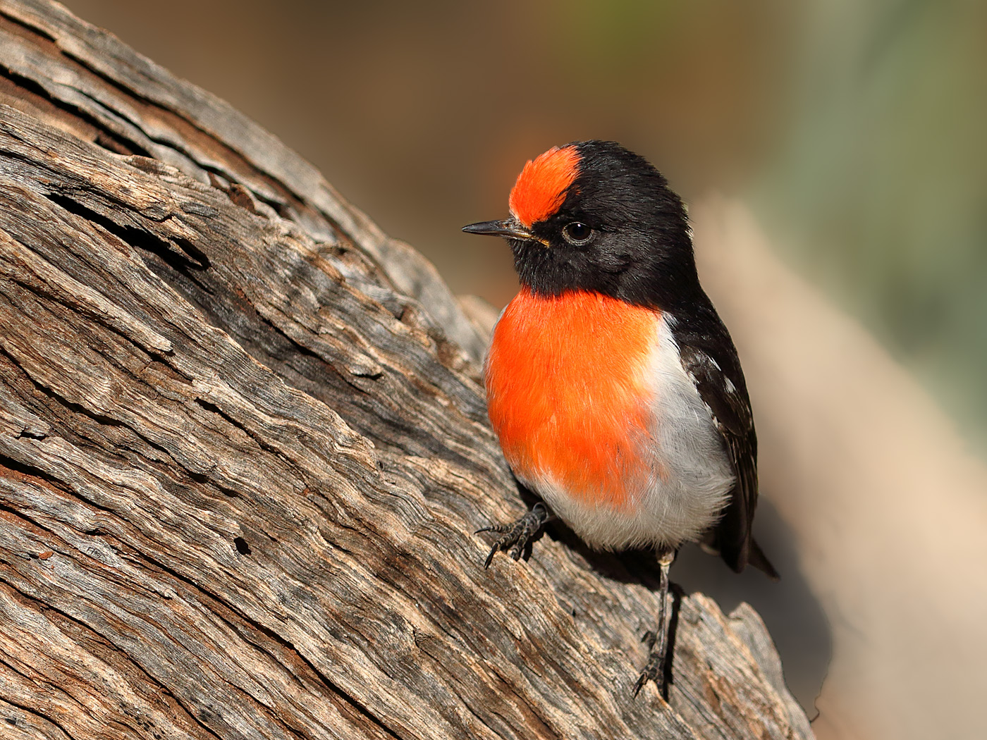 Red-capped Robin (Image ID 32090)