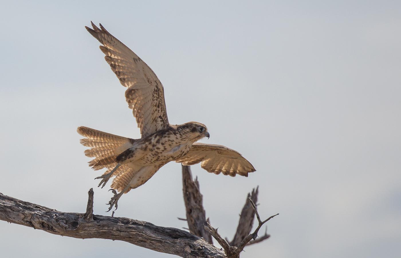 Brown Falcon (Image ID 32180)