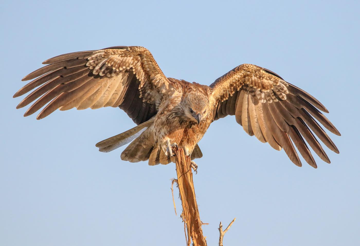 Whistling Kite (Image ID 32309)