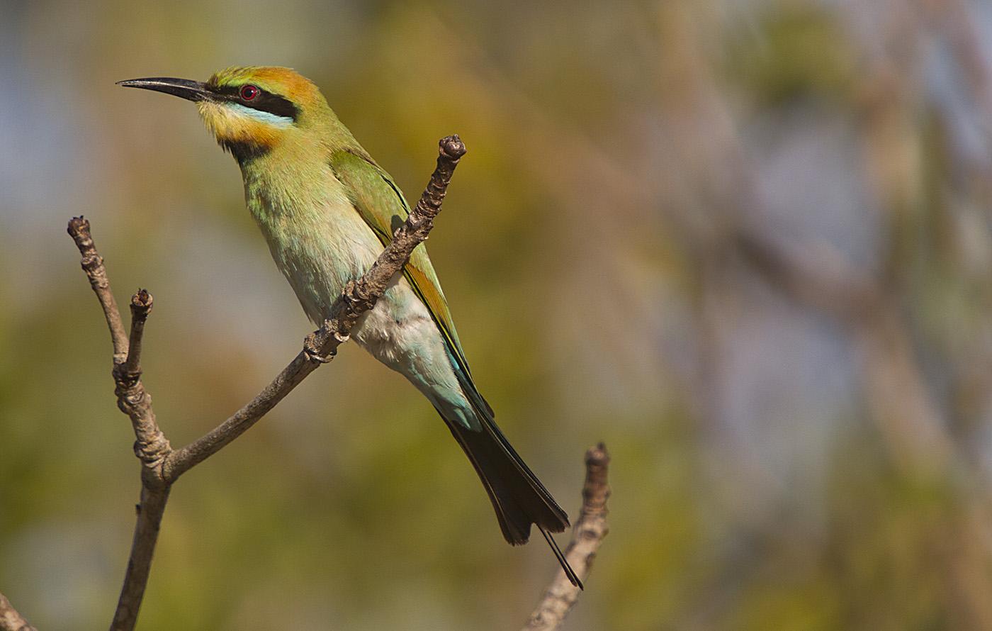Rainbow Bee-eater (Image ID 32156)