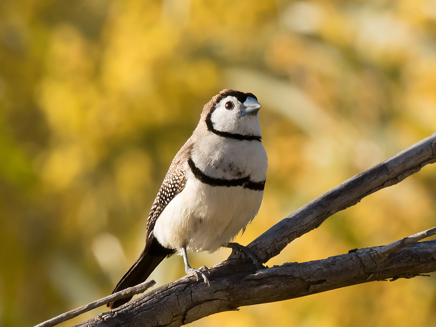 Double-barred Finch (Image ID 32136)