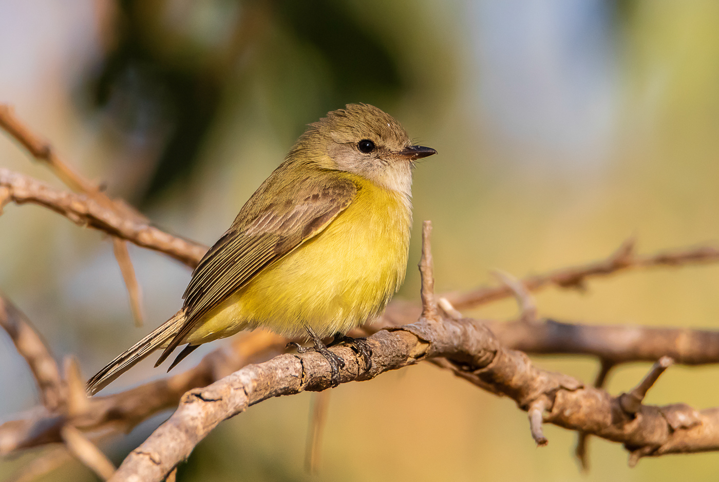 Lemon-bellied Flycatcher (Image ID 32239)