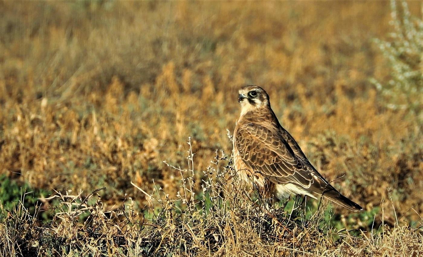 Brown Falcon (Image ID 32187)