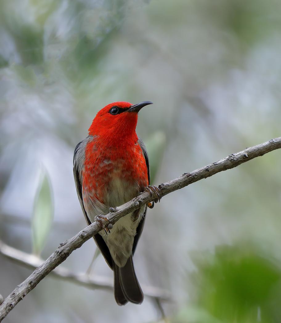Scarlet Honeyeater (Image ID 32059)
