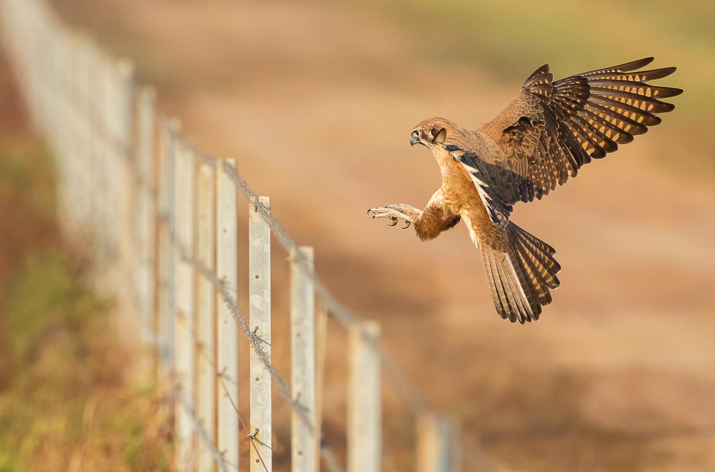 Brown Falcon (Image ID 32243)