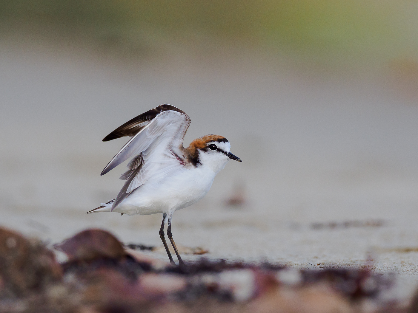 Red-capped Plover (Image ID 32360)