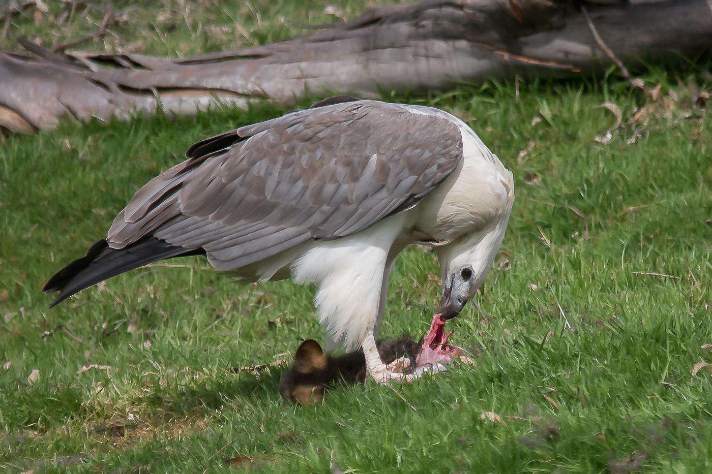 White-bellied Sea-Eagle (Image ID 32682)