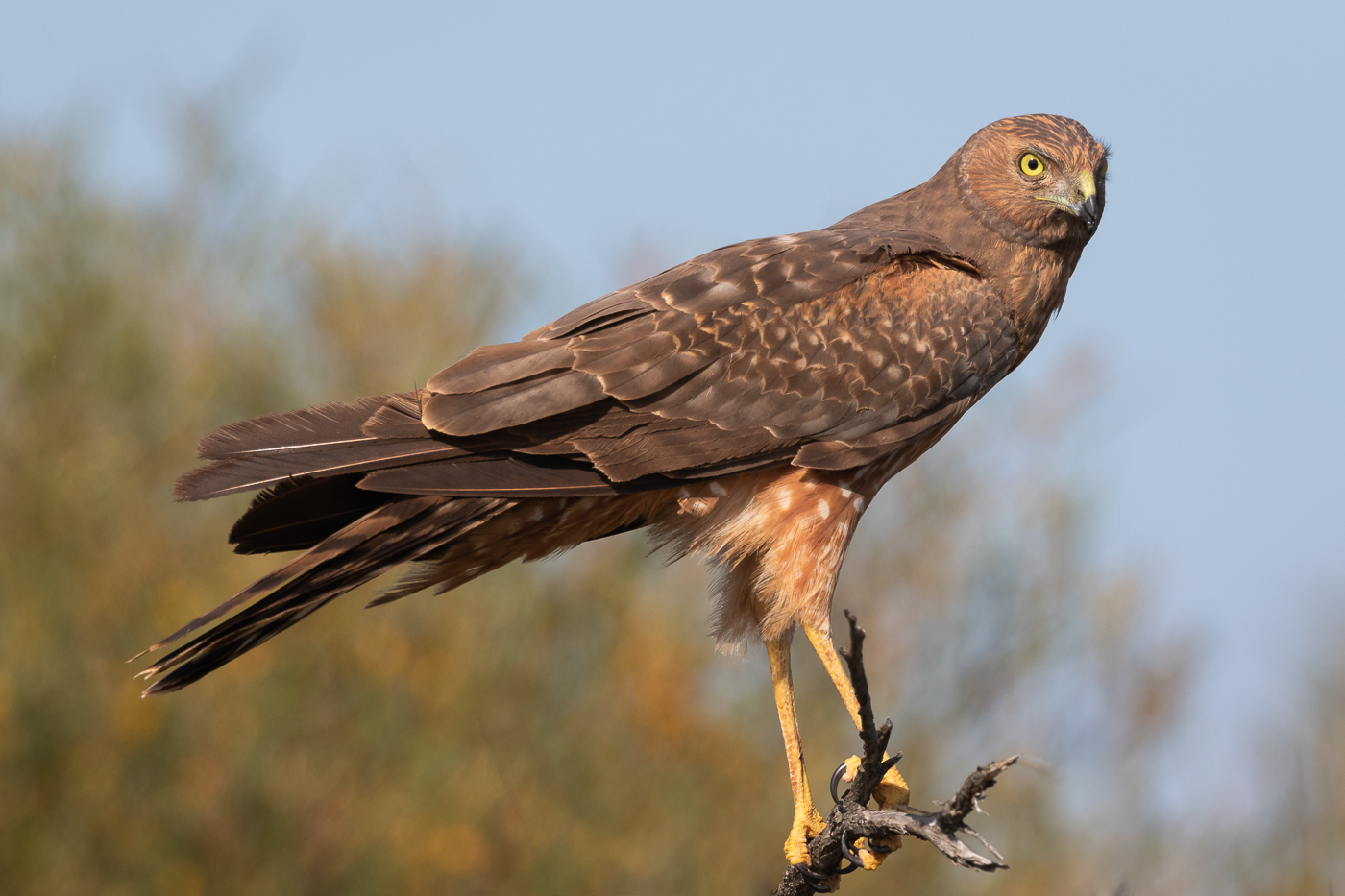 Spotted Harrier (Image ID 32471)