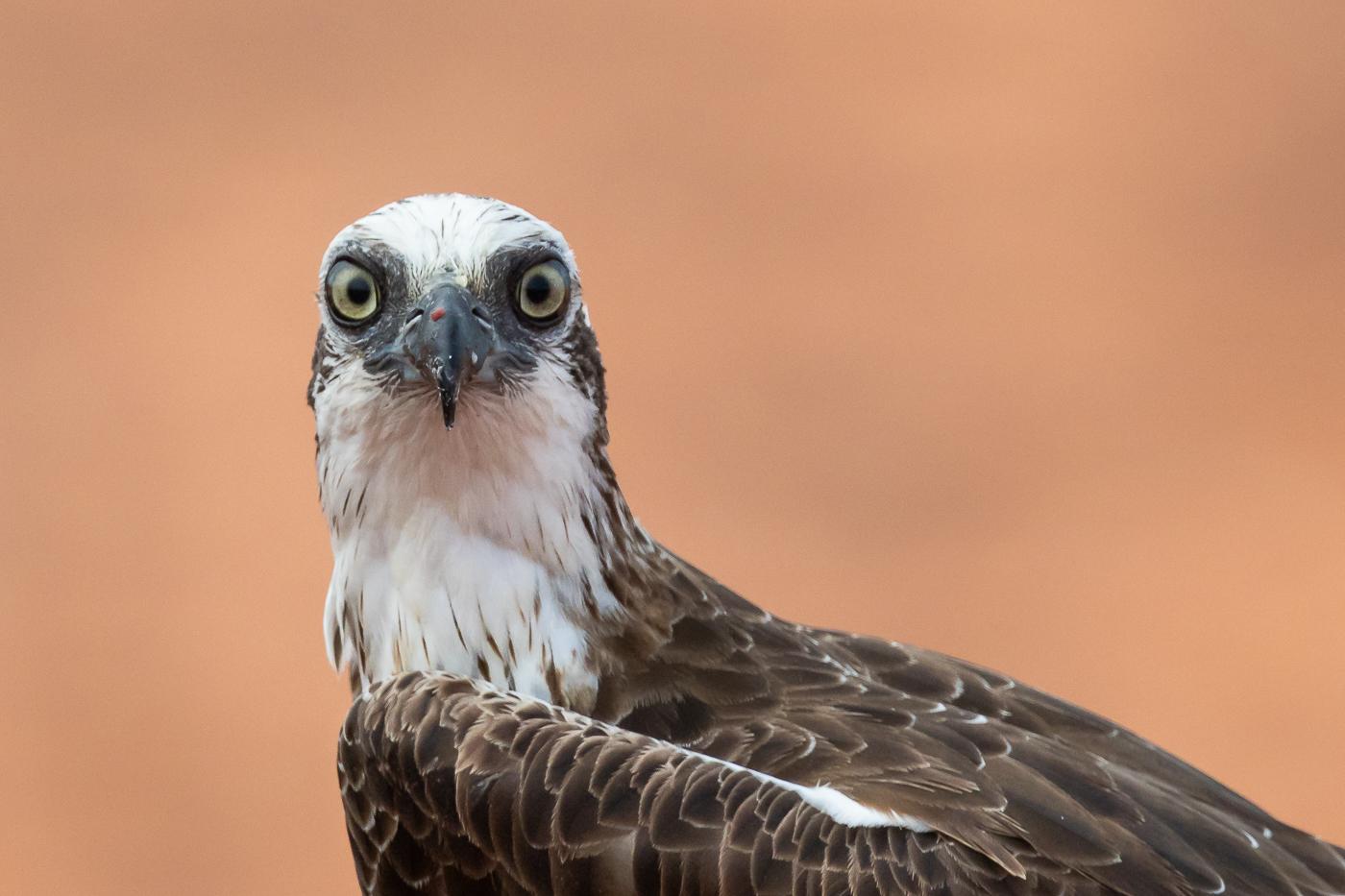 Osprey (Image ID 32592)