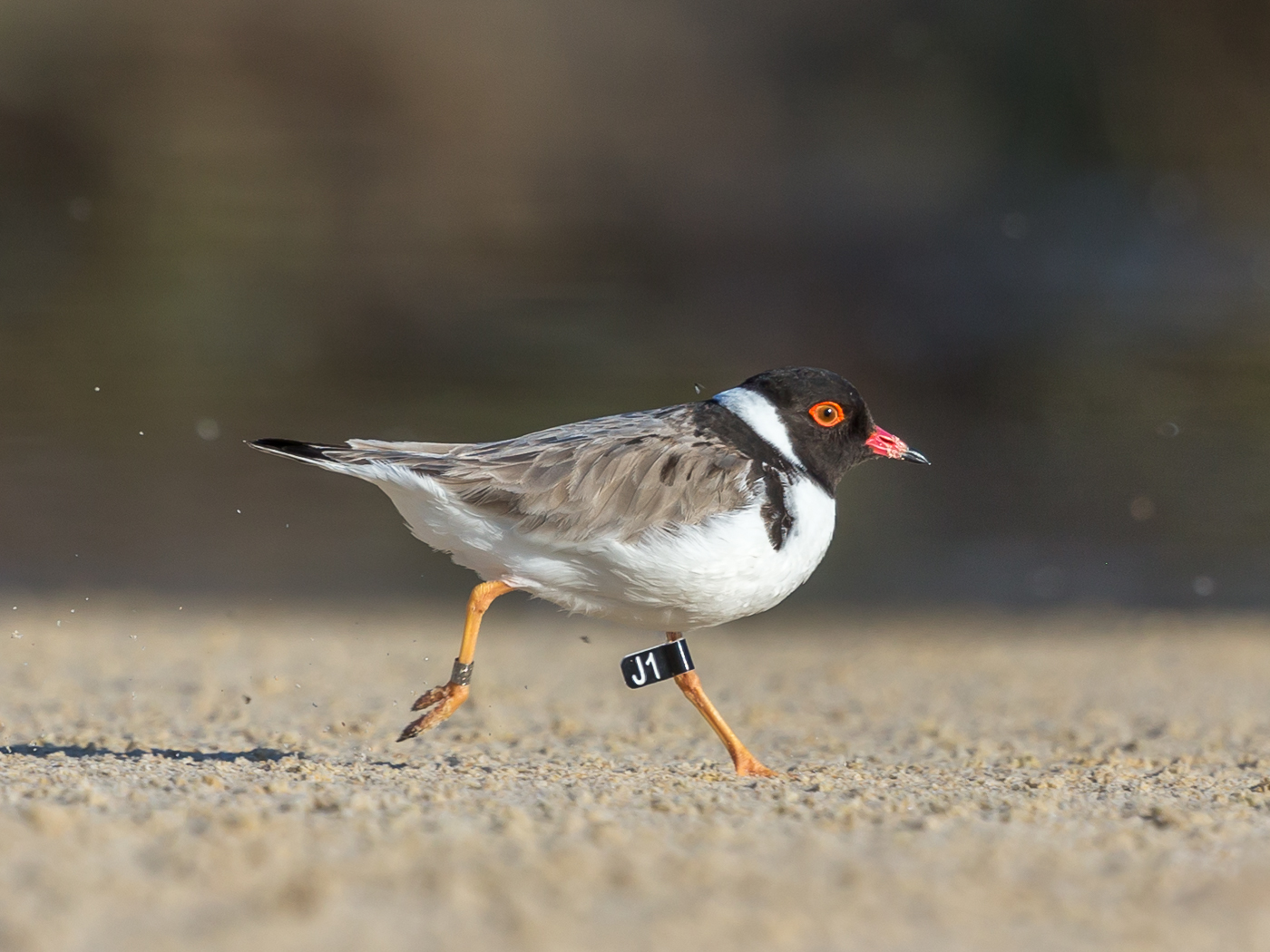 Hooded Plover (Image ID 32833)