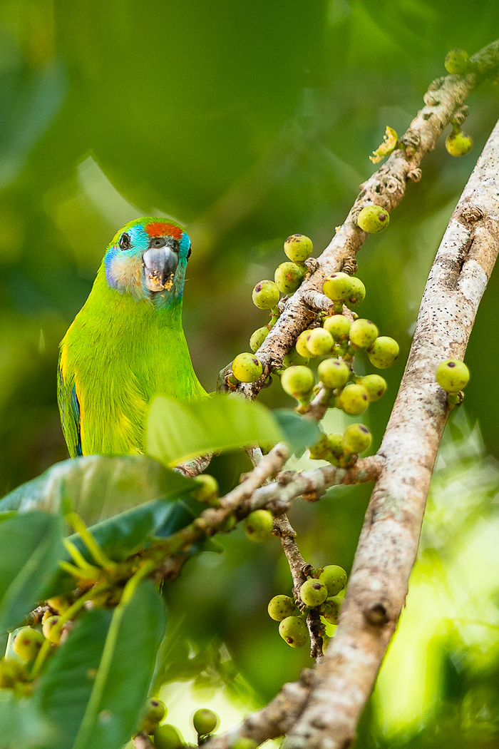 Double-eyed Fig-Parrot (Image ID 32619)