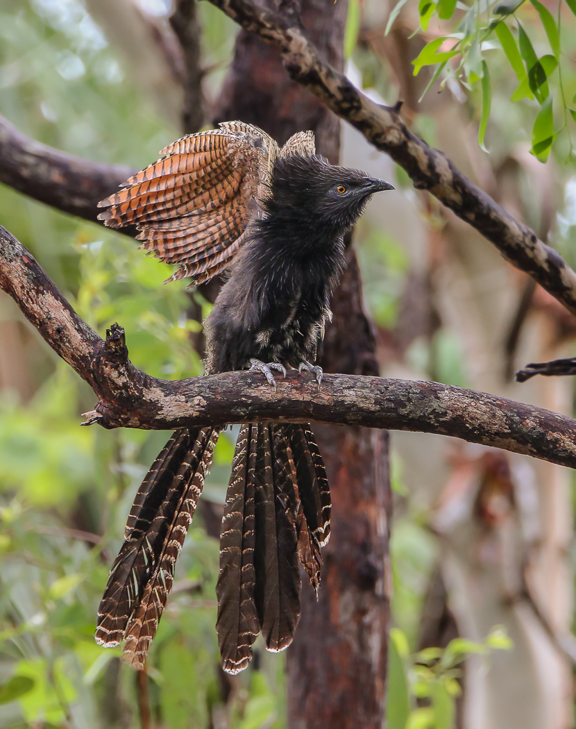Pheasant Coucal (Image ID 32531)