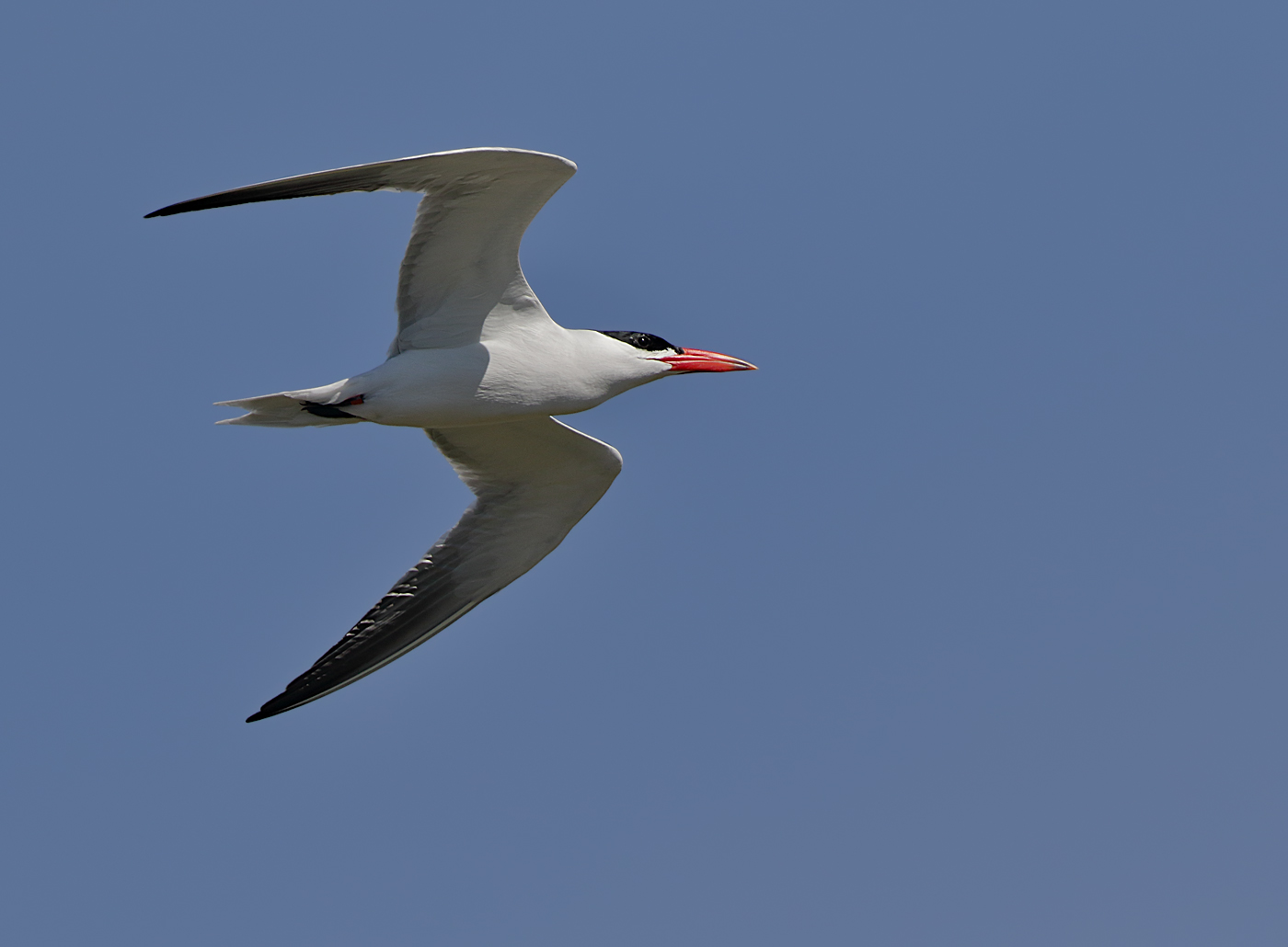 Caspian Tern (Image ID 32732)