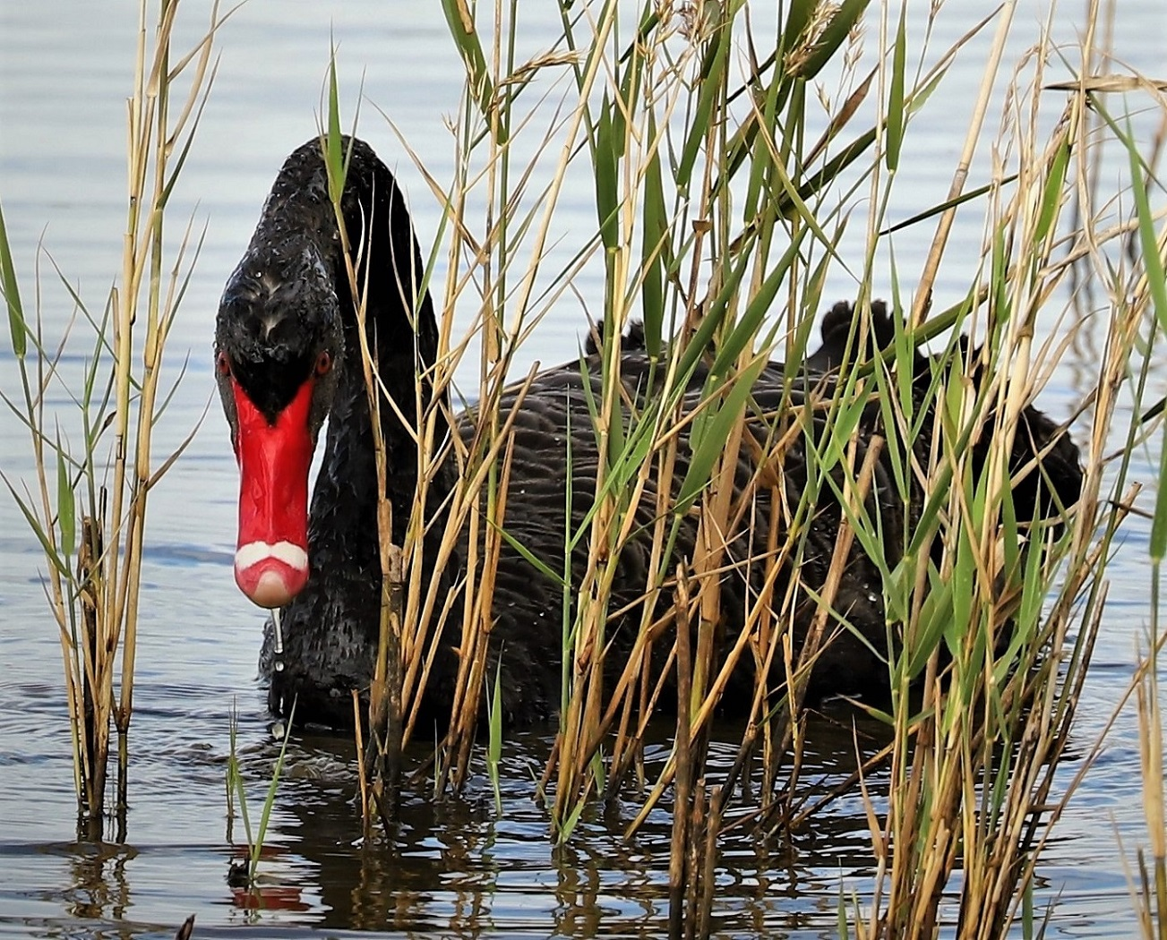 Black Swan (Image ID 32885)