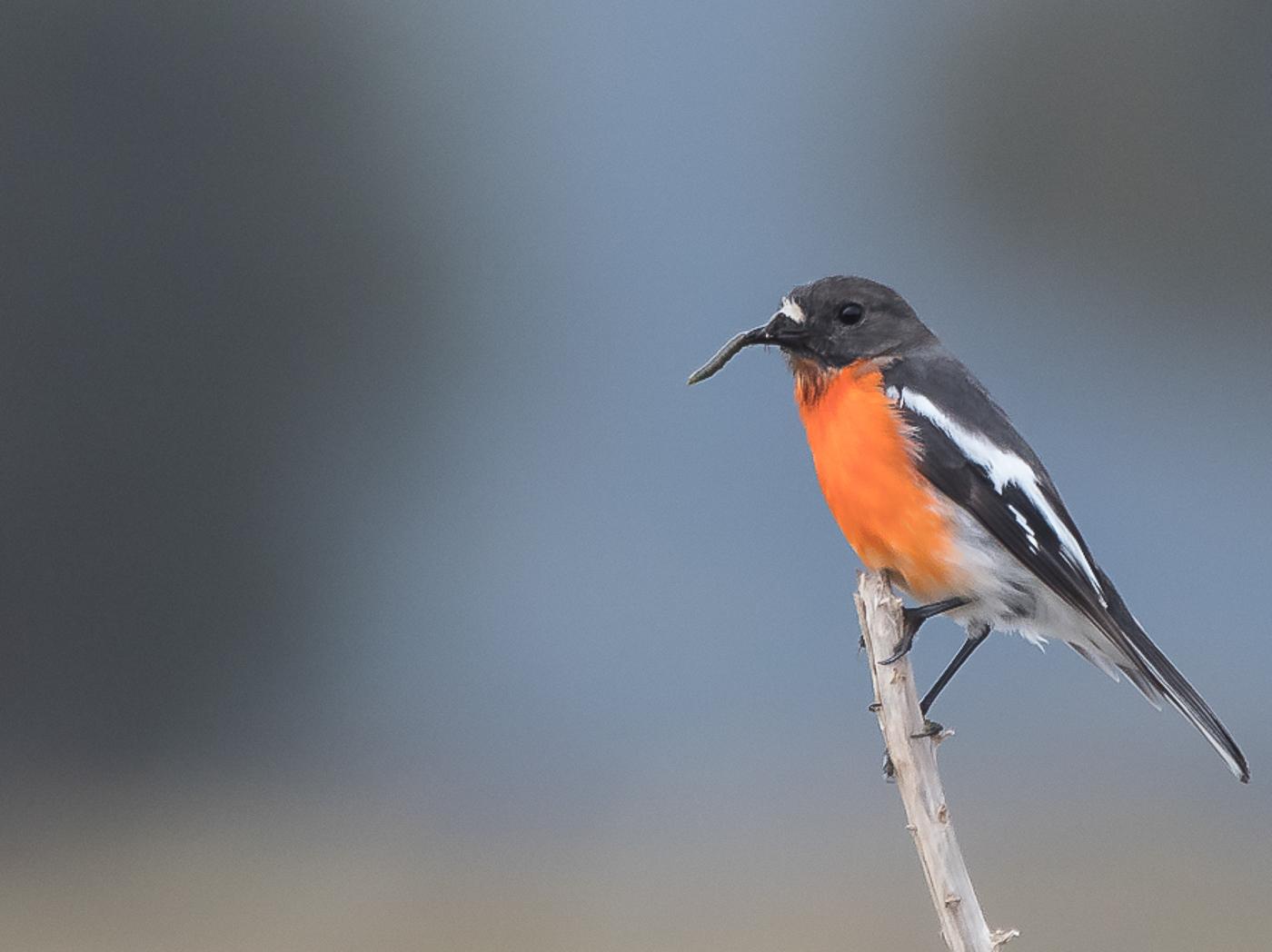 Flame Robin (Image ID 32683)