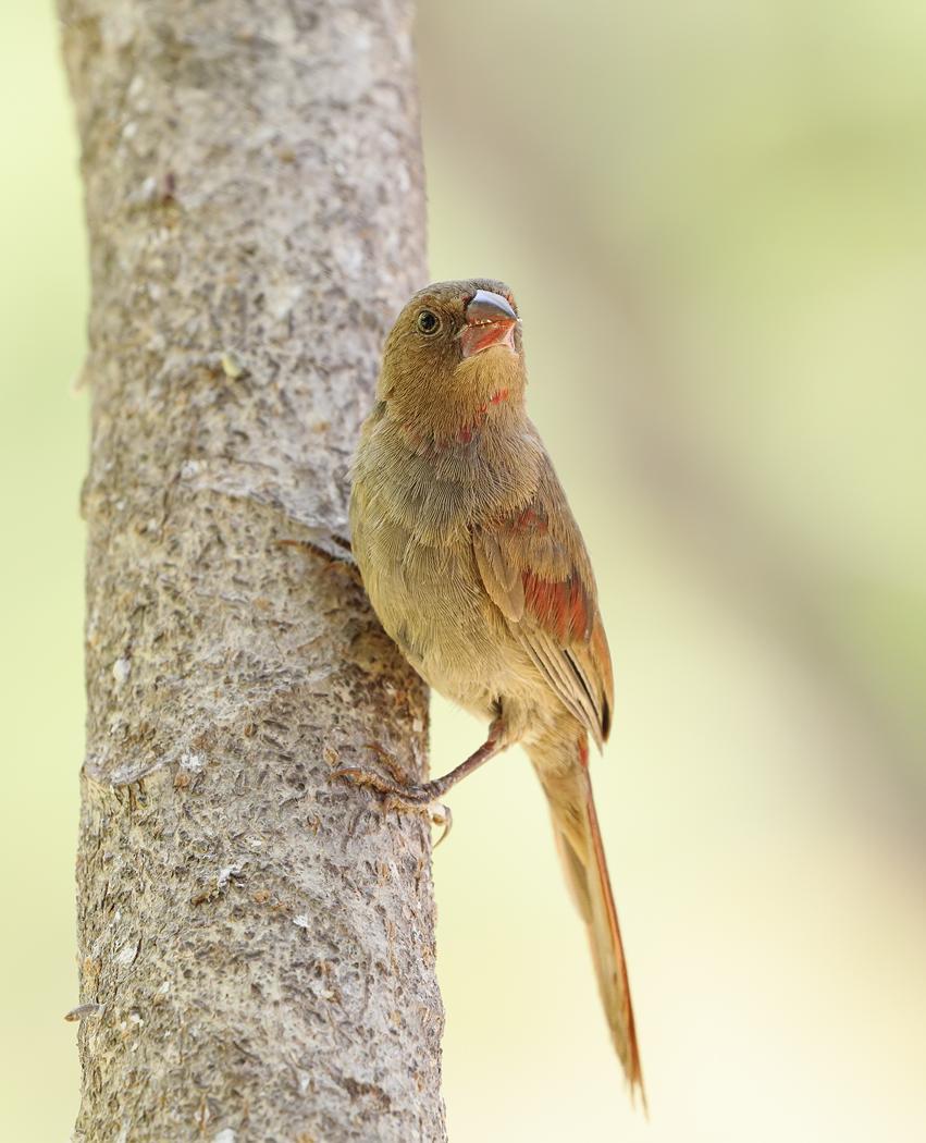 Crimson Finch complex (Image ID 32512)