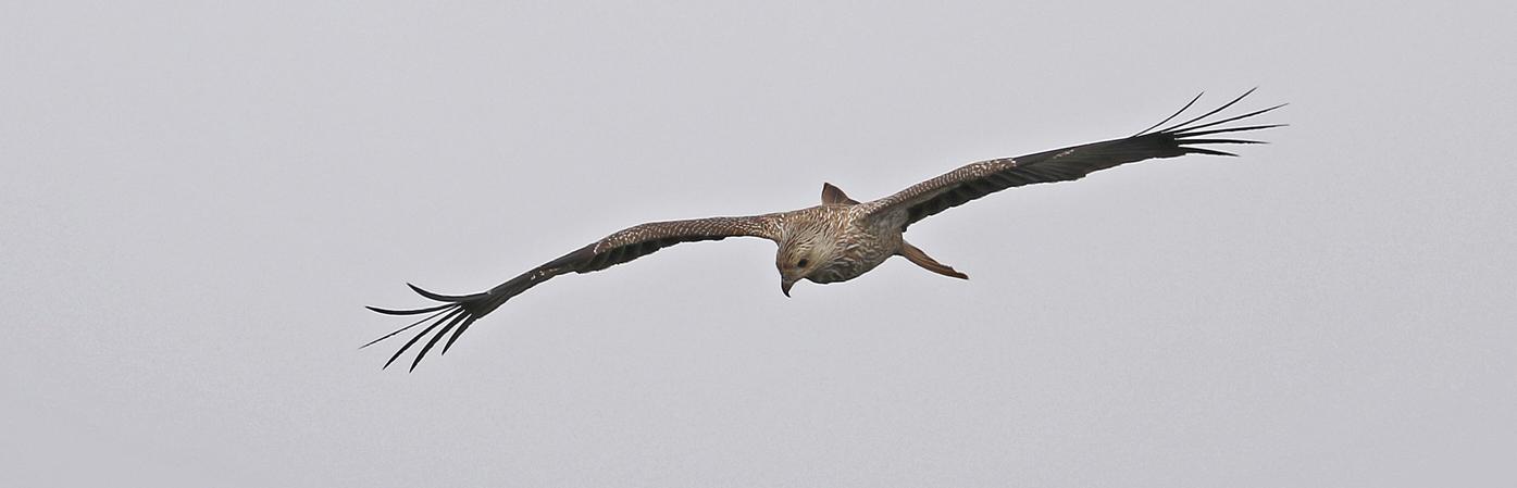 Whistling Kite (Image ID 32808)