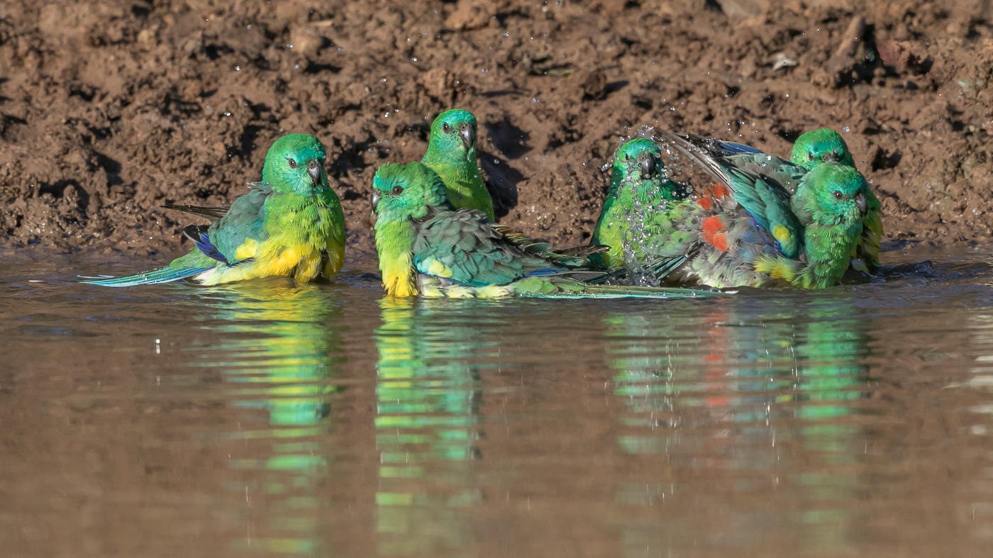 Red-rumped Parrot (Image ID 32840)