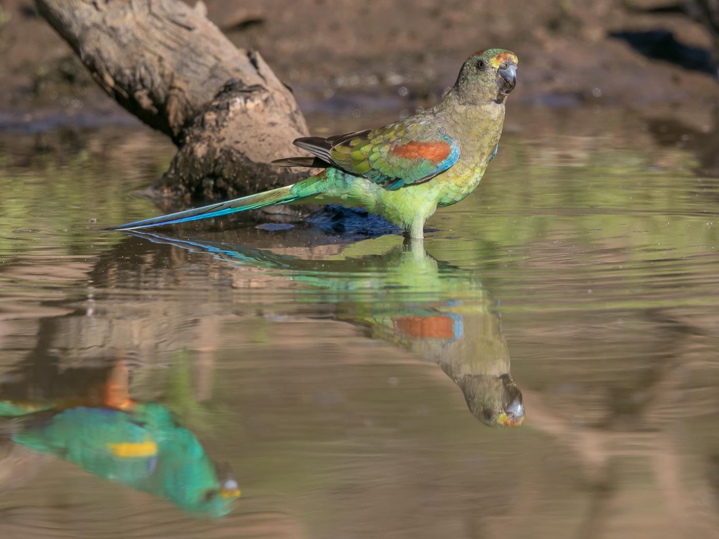 Mulga Parrot (Image ID 32775)