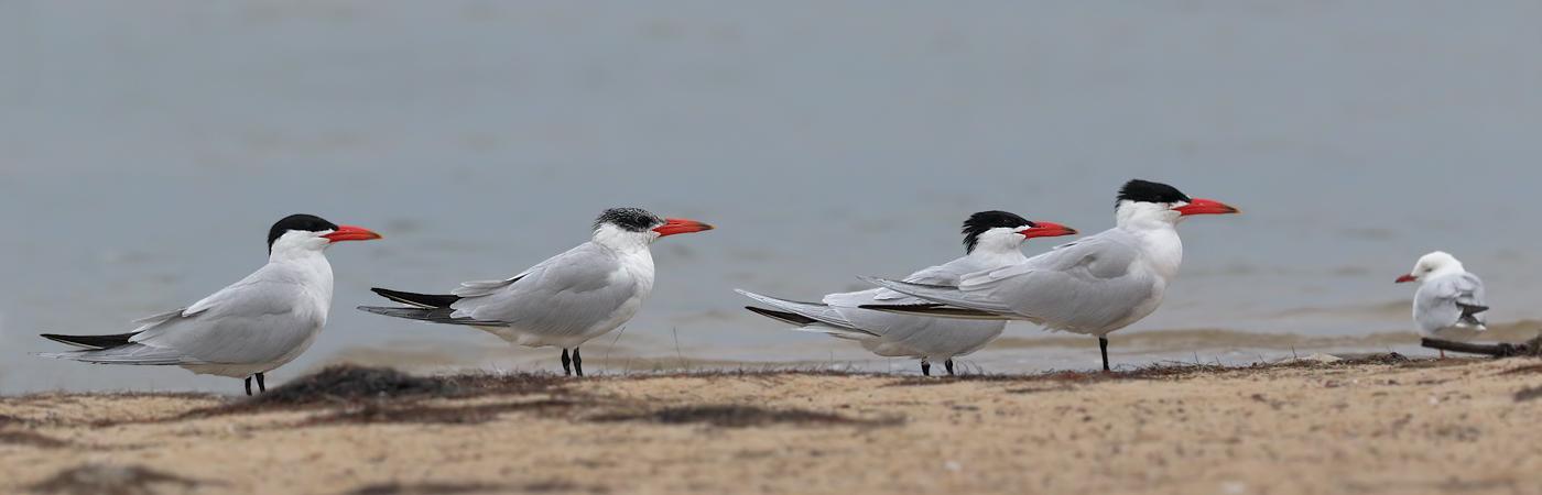 Caspian Tern (Image ID 32499)