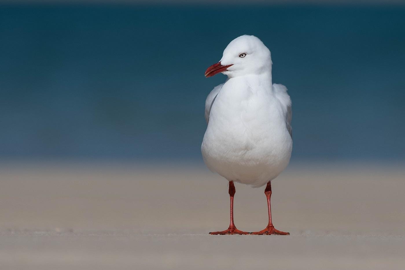 Silver Gull (Image ID 32547)