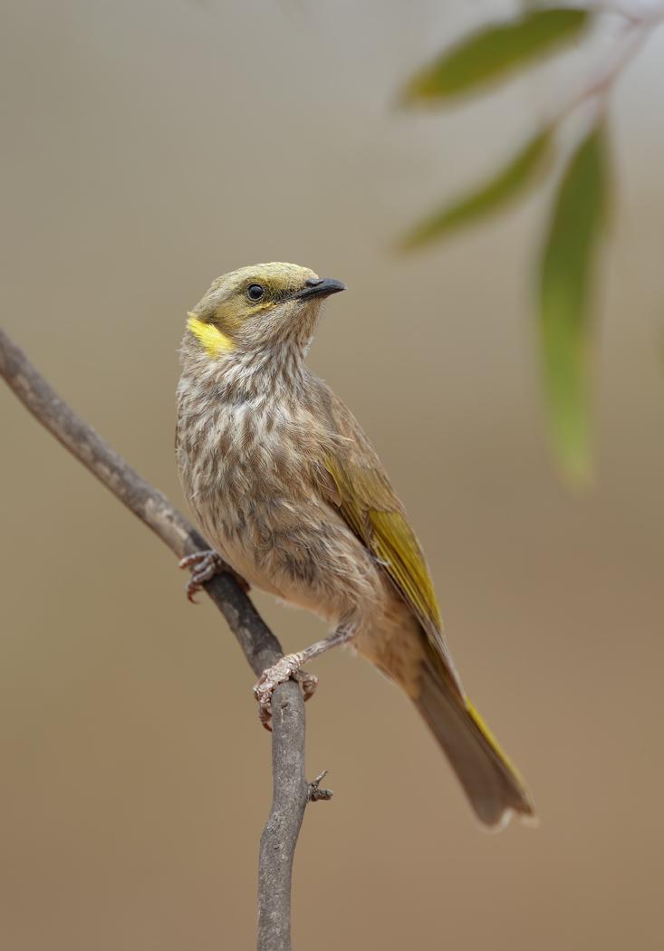 Yellow-plumed Honeyeater (Image ID 32473)