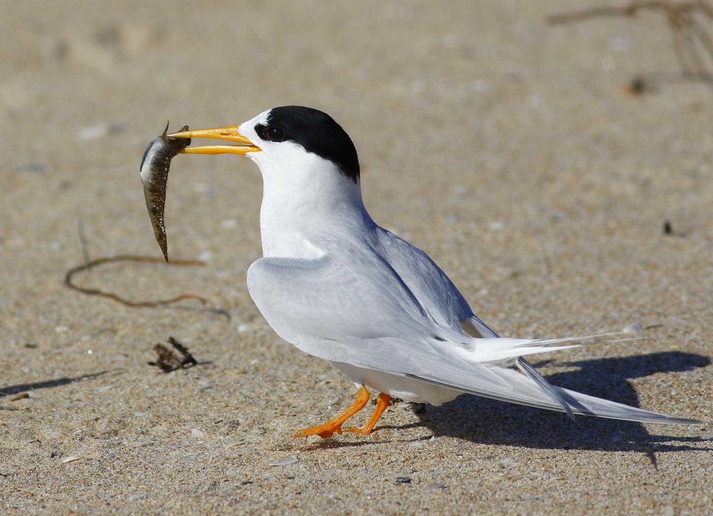 Fairy Tern (Image ID 32469)