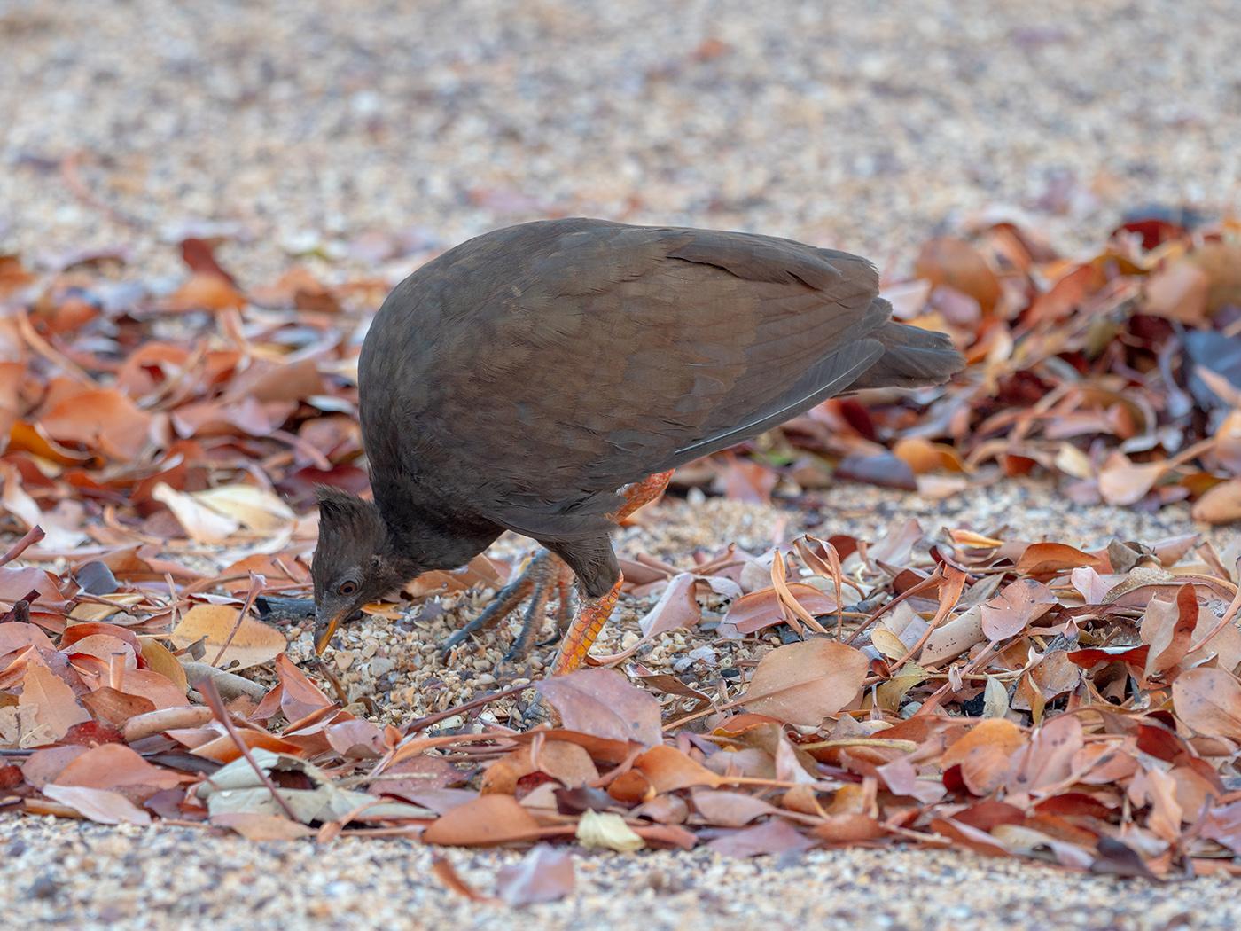 Orange-footed Scrubfowl (Image ID 32661)