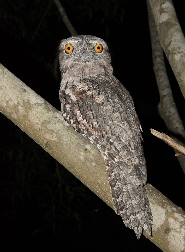 Tawny Frogmouth (Image ID 32614)