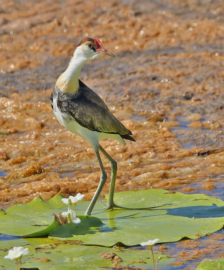 Comb-crested Jacana (Image ID 32554)