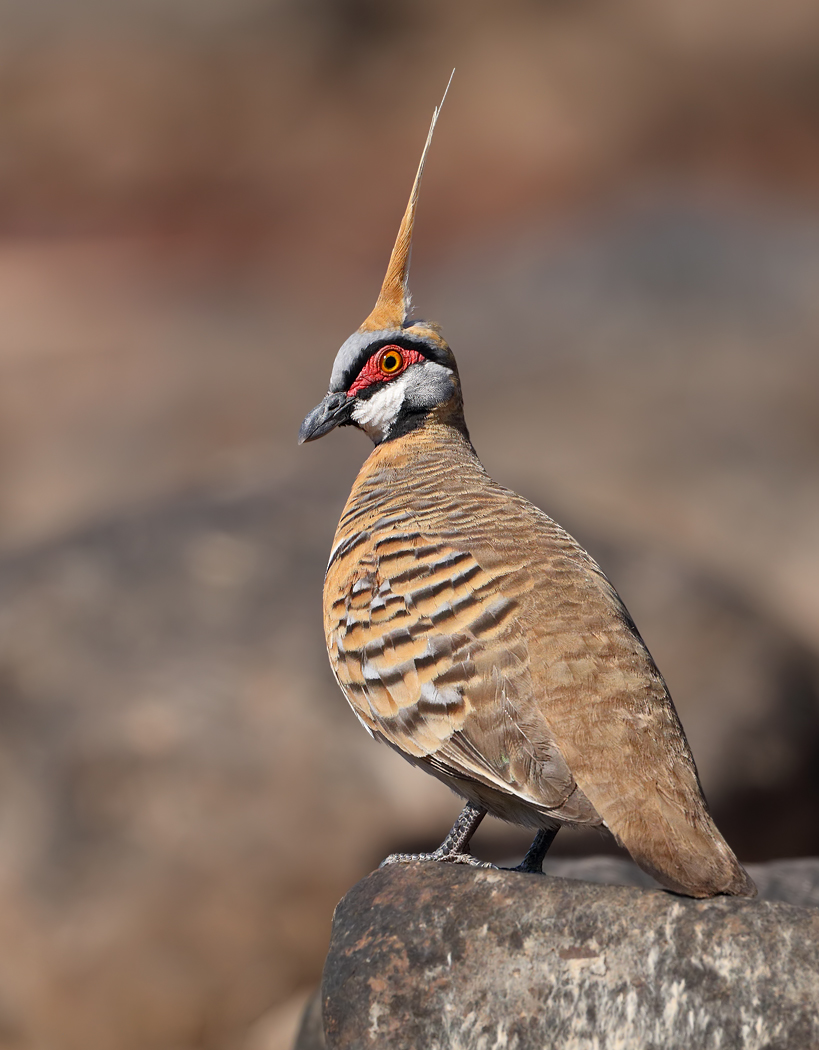 Spinifex Pigeon (Image ID 32450)