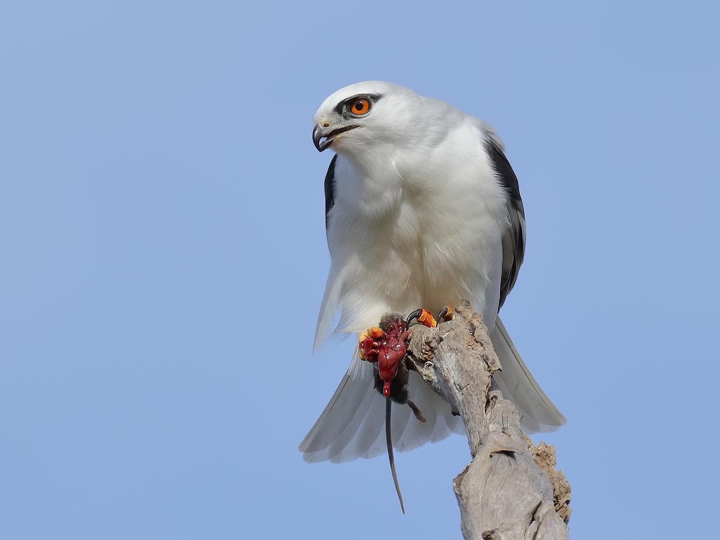 Black-shouldered Kite (Image ID 32774)