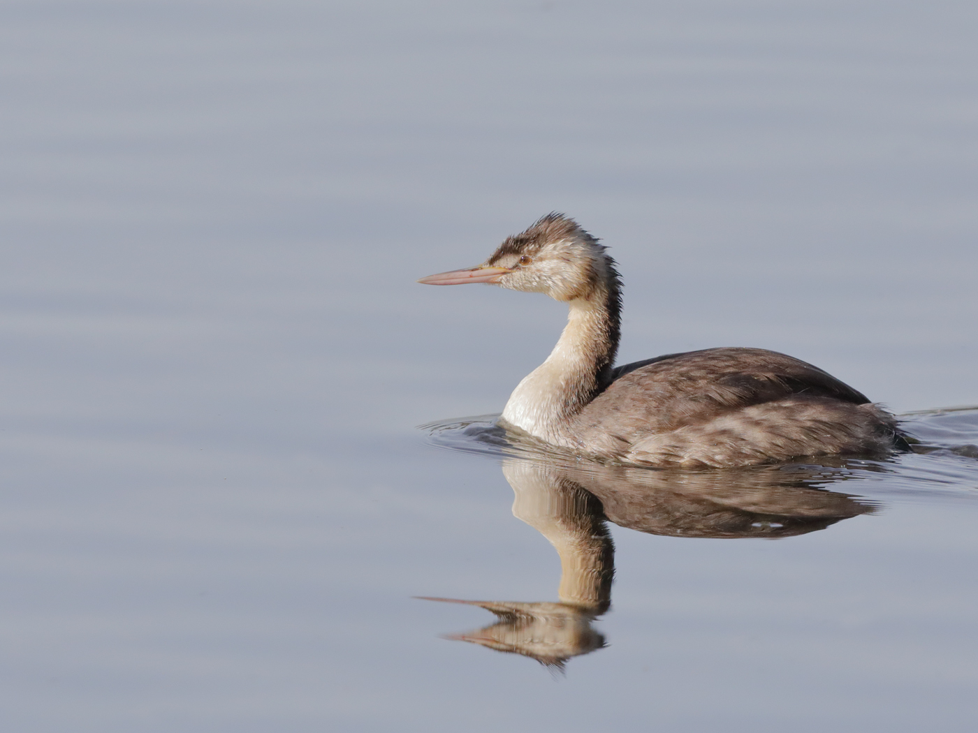 Great Crested Grebe (Image ID 32524)