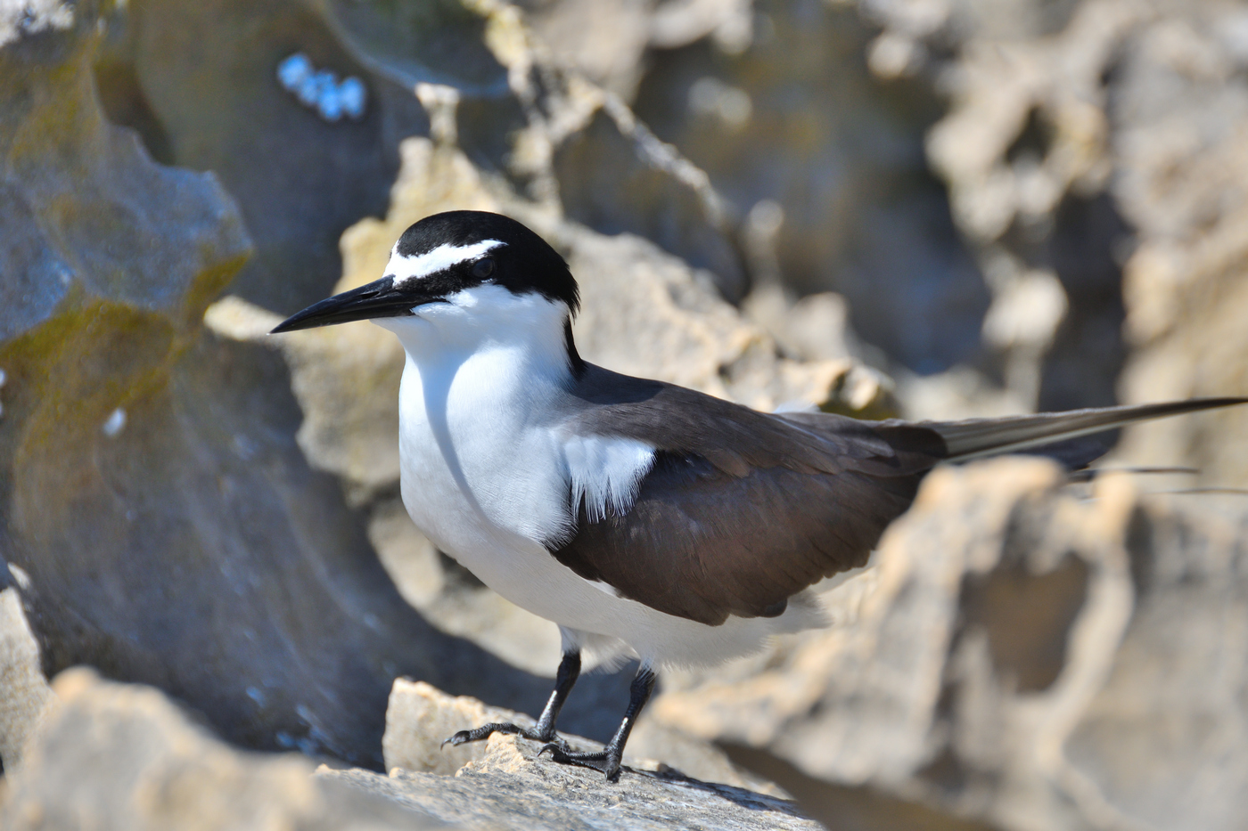 Bridled Tern (Image ID 32529)