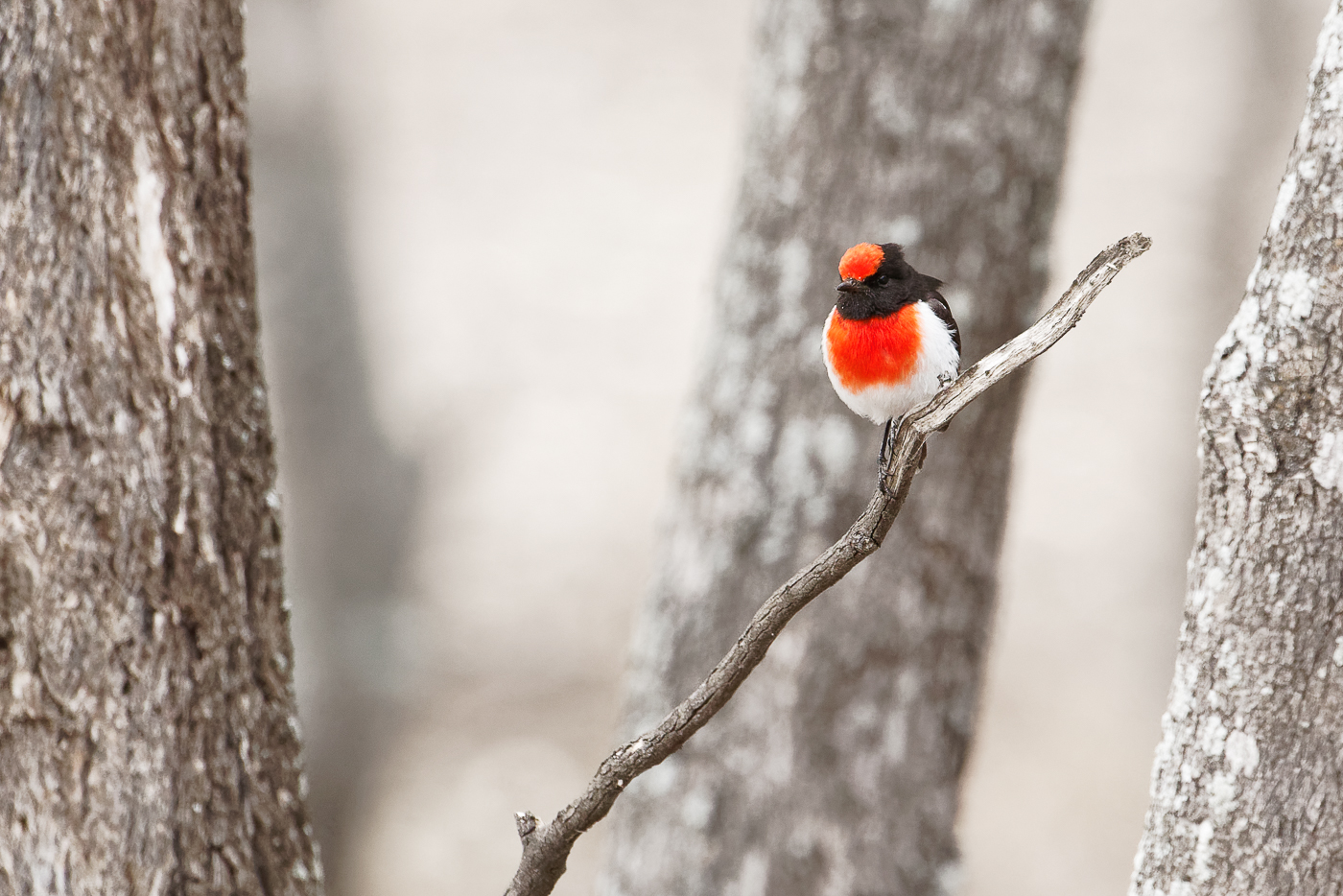 Red-capped Robin (Image ID 32500)