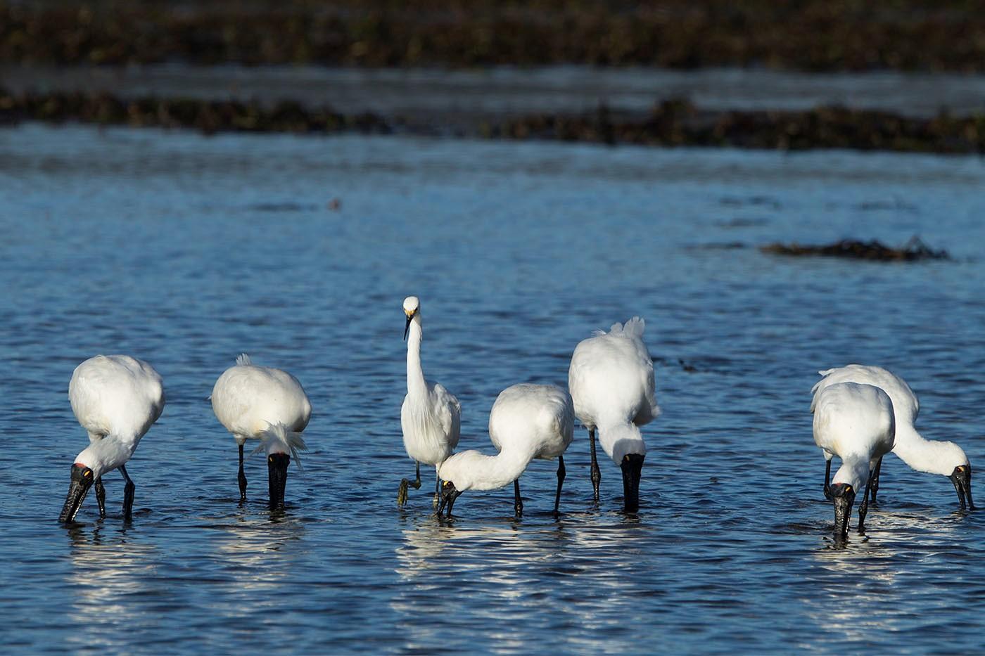 Little Egret, Royal Spoonbill (Image ID 32583)