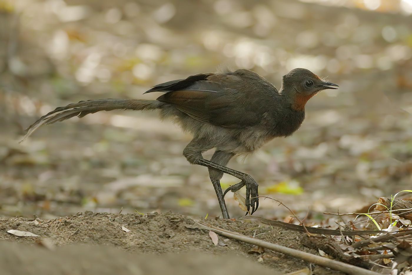 Superb Lyrebird (Image ID 32628)