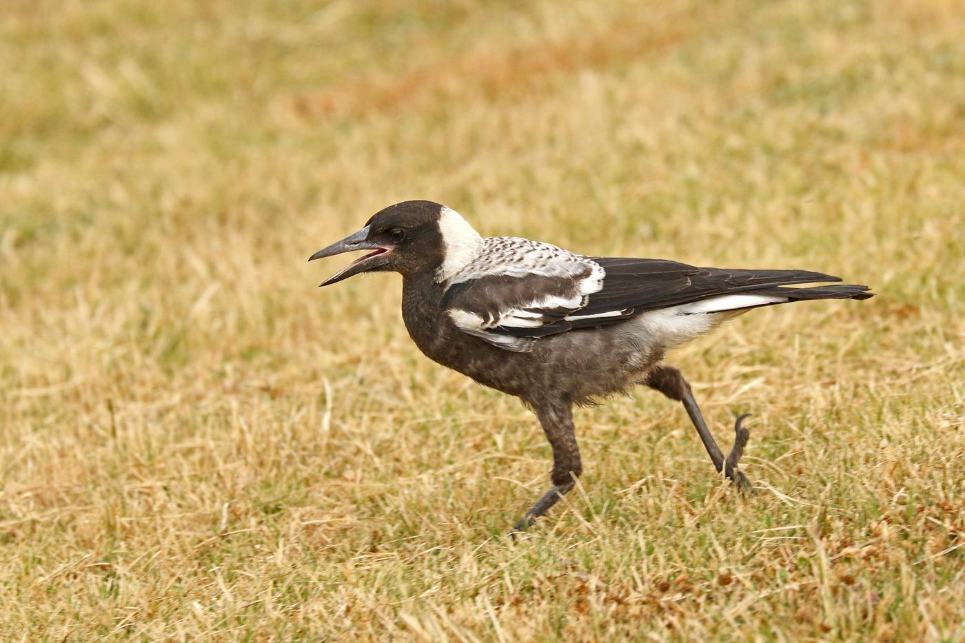 Australian Magpie (Image ID 32751)