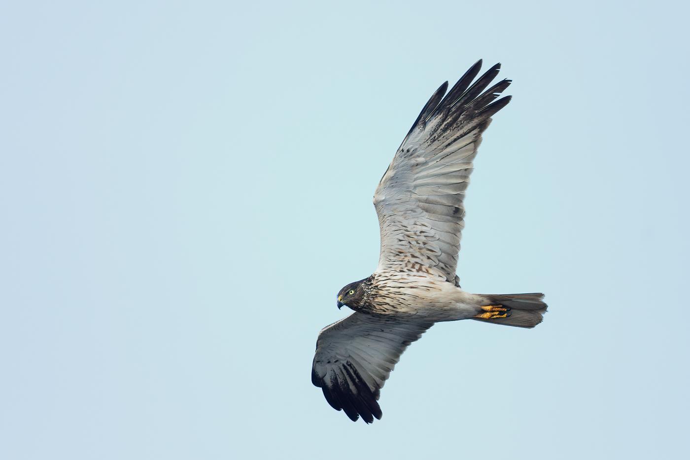 Swamp Harrier (Image ID 32481)