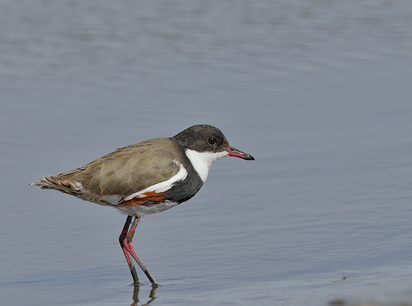 Red-kneed Dotterel (Image ID 32769)