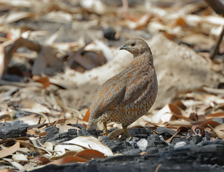 Brown Quail (Image ID 32457)