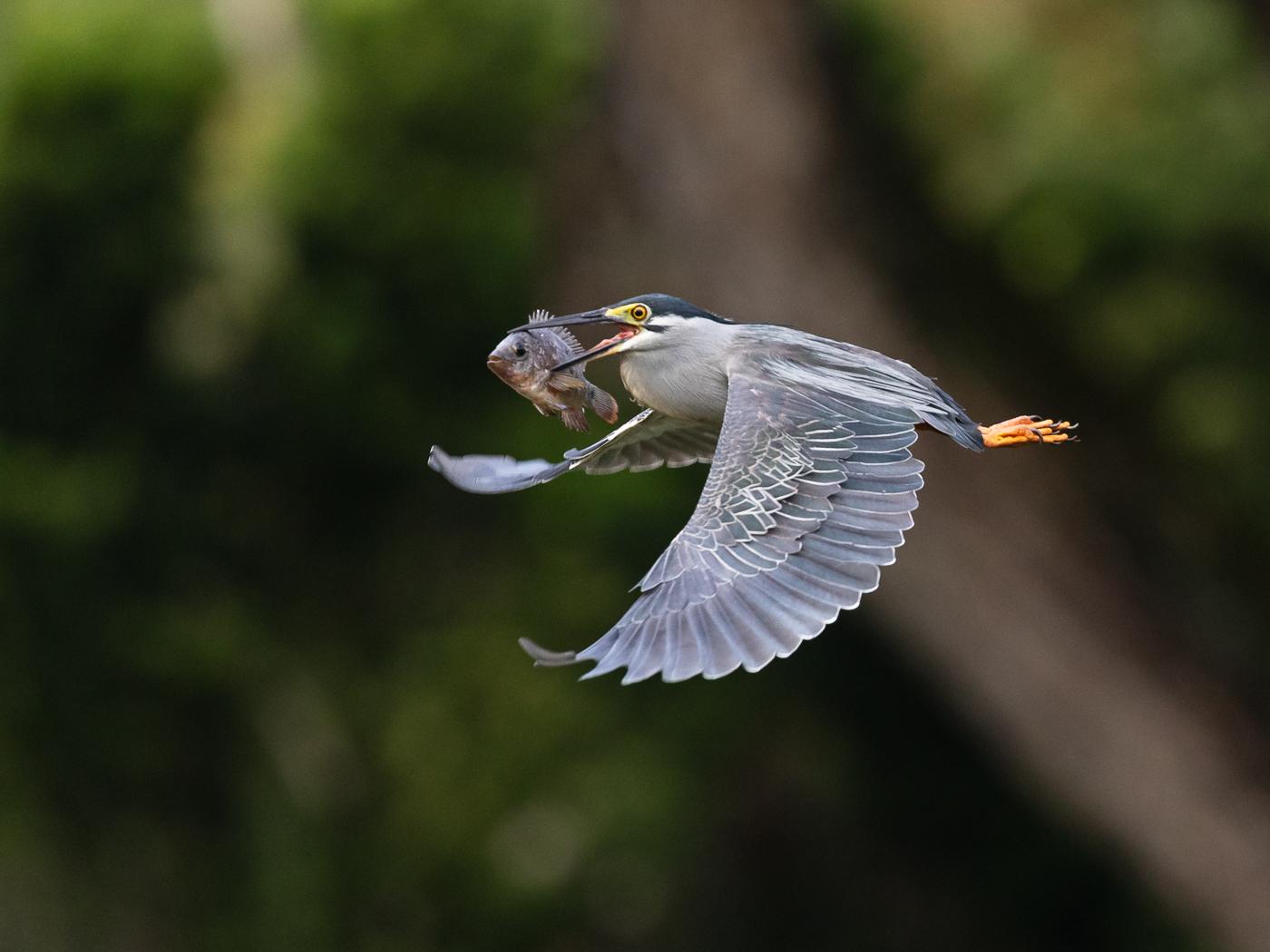 Striated Heron (Image ID 32851)