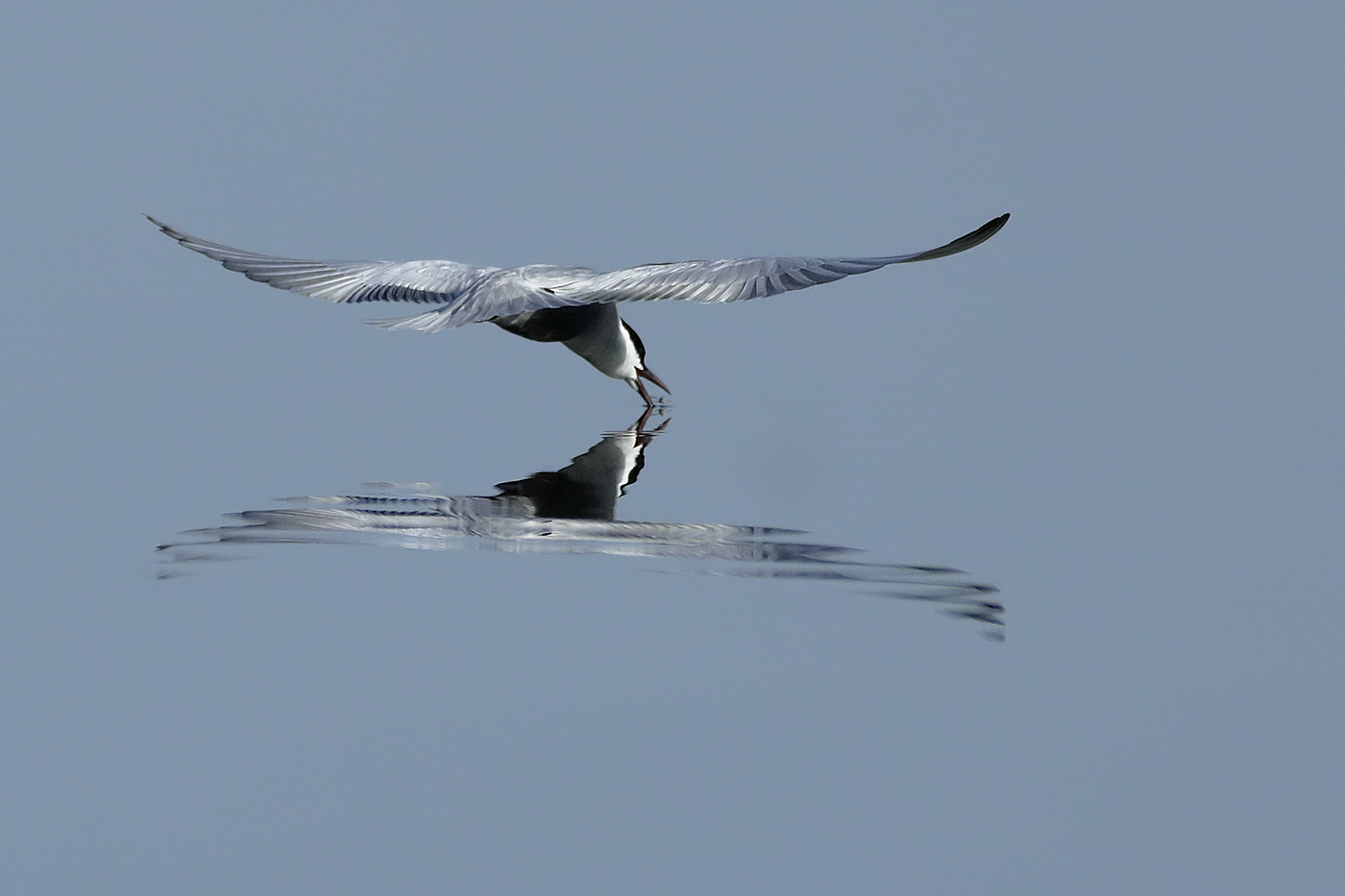 Whiskered Tern (Image ID 32590)