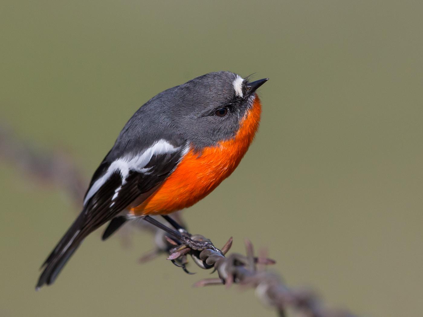 Flame Robin (Image ID 32667)