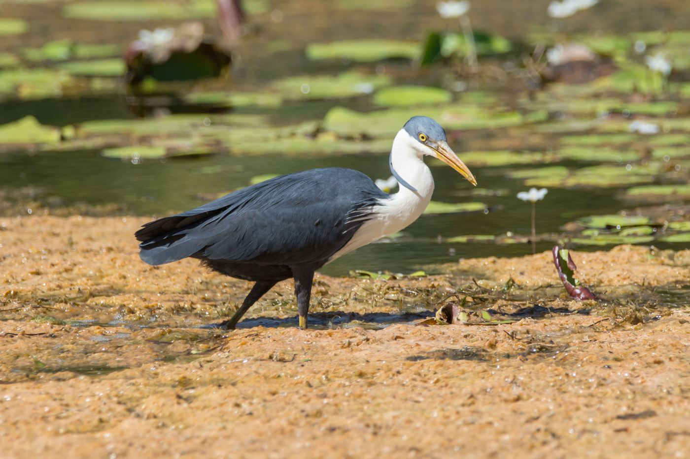 Pied Heron (Image ID 32710)