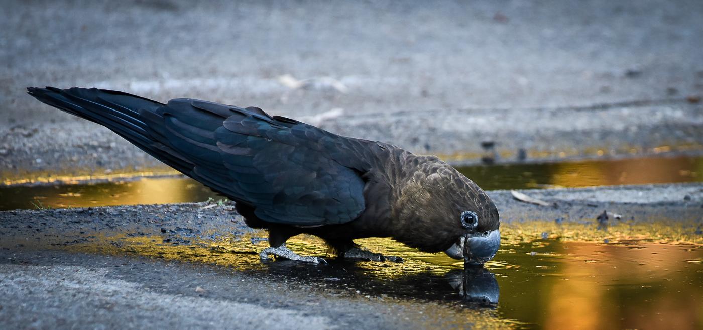 Glossy Black-Cockatoo (Image ID 32608)