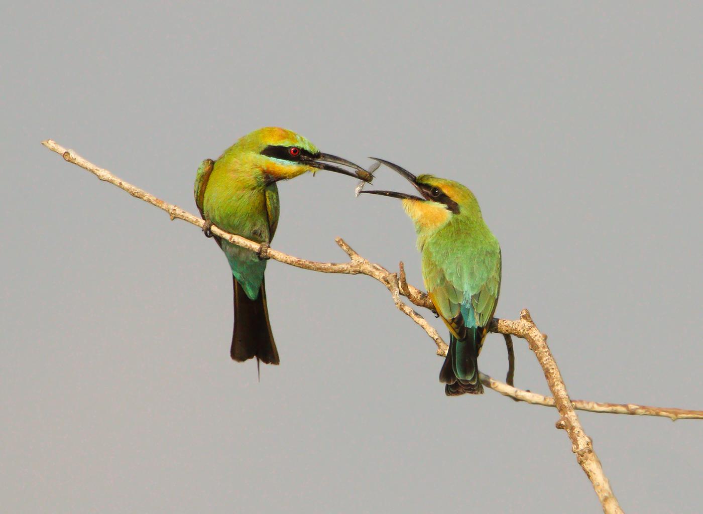 Rainbow Bee-eater (Image ID 32449)