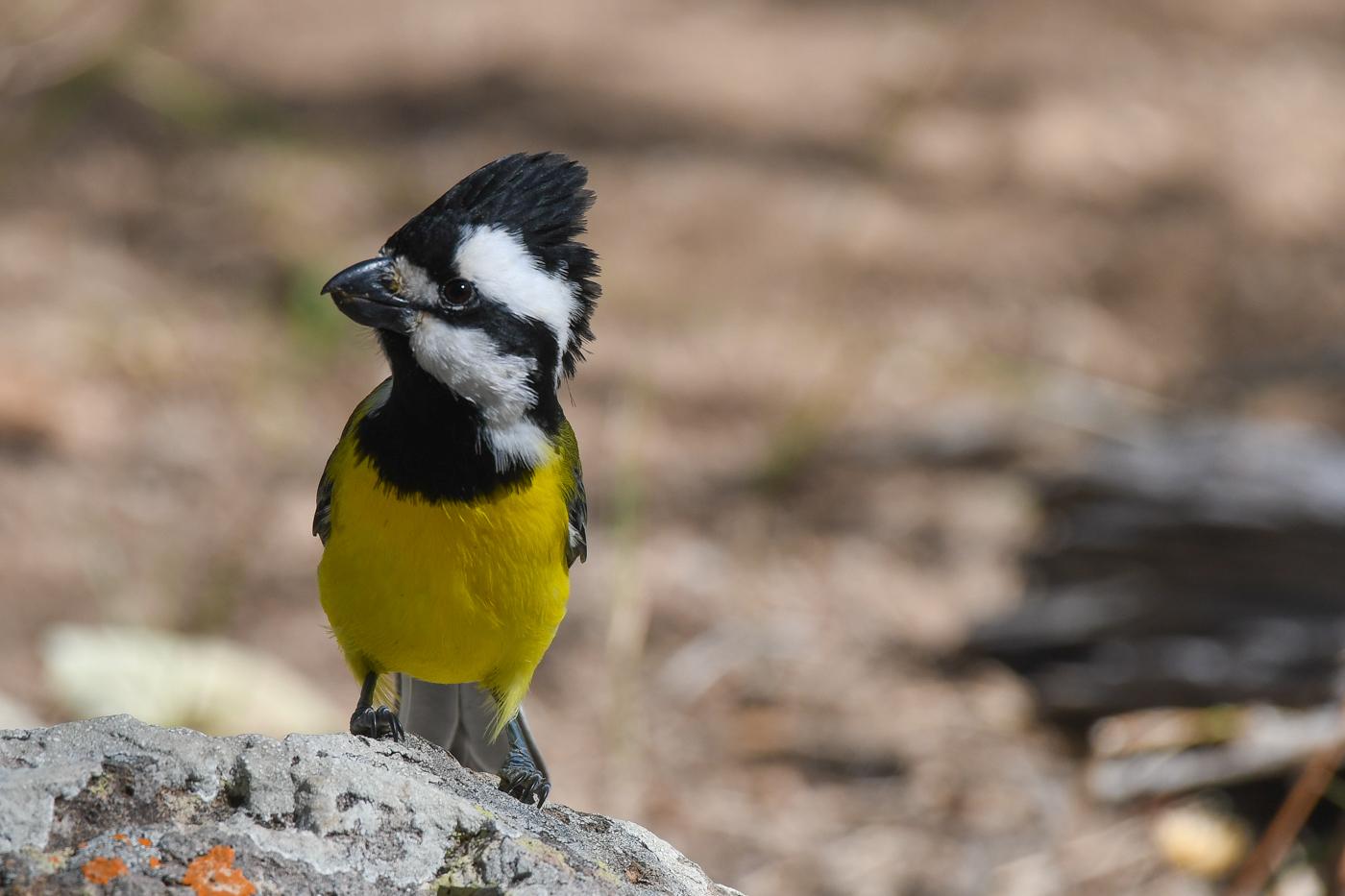 Crested Shrike-tit (Image ID 32495)