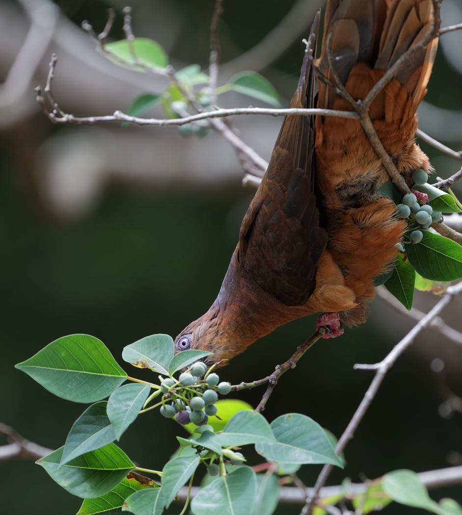 Brown Cuckoo-Dove (Image ID 32861)